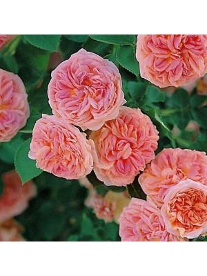 Róża pnąca  Alchemist