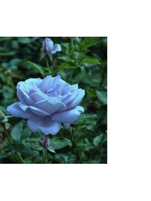 Róża pnąca  Indigolette