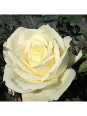 Róża wielkokwiatowa Polarstern  Tanlarpost