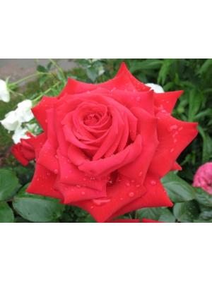 Róża BURGUND  Korgund