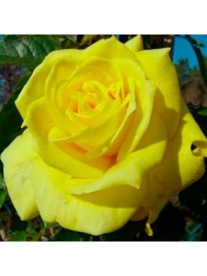 Róża  Berolina  żółta