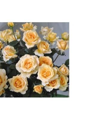 Róża  Casanova