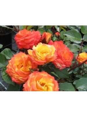 Róża pienna  Rumba
