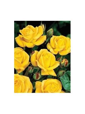 Róża pienna FRIESIA  Korresia