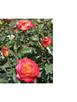Róża pienna  Alinka