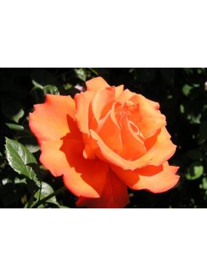 Róża pienna  Alexander