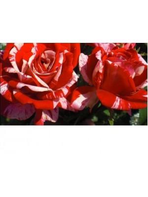 Róża pienna  Papageno