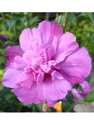 Hibiscus (Ketmia) syryjska 'Sanchonyo' 3L