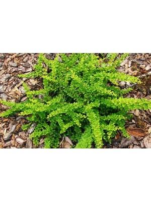 Berberys Thunberga 'Green Carpet' 3L