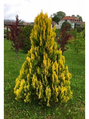 Żywotnik zachodni  Yellow Ribbon -tuja
