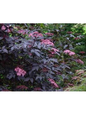 Bez czarny Black Beauty 'Gerda' -  Sambucus nigra 3L