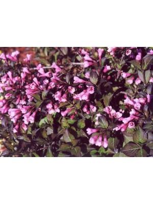 Krzewuszka cudowna 'Nana Purpurea' 3L