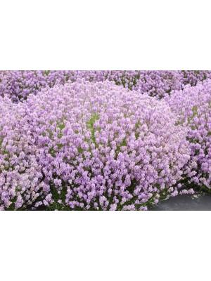 Lawenda wąskolistna 'Rosea' - Lavandula angustifolia P9