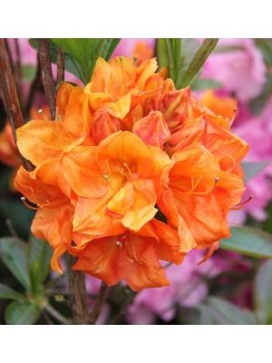 Azalia wielkokwiatowa 'Goldkopfchen' 4L