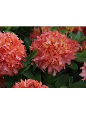 Azalia wielkokwiatowa 'Gena Mae' 4L