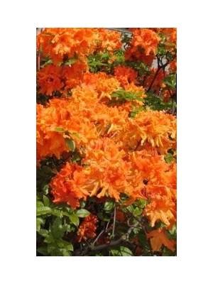 Azalia wielkokwiatowa 'Tan Glow' 4L